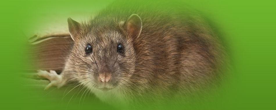 szczur3